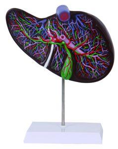 PVC Life Size Human Liver Model pictures & photos