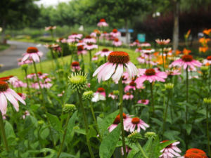 Echinacea Purpurea Extract Polyphenols and Cichoric Acid pictures & photos