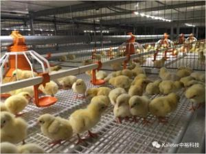 Automatic Chicken Feeding Equipments for Broiler Production pictures & photos