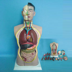 High Quality Medical Teaching Human Anatomy Torso (R030102) pictures & photos