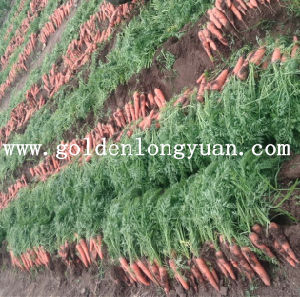Fresh Carrot From Own Planting Base pictures & photos