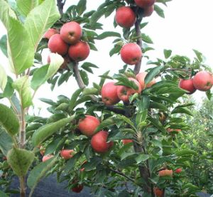High Quality Juicy Red Star Apple for Exporting pictures & photos