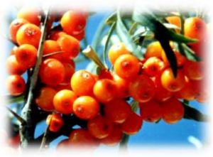 High Quality Herbal Medicine Hippophae Rhamnoides pictures & photos