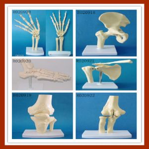 Knee Anatomical Simulation Knee Joint Skeleton Model for Medical Teaching pictures & photos