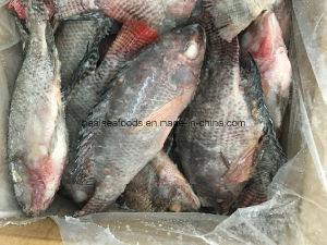 Whole Round 500-800g Frozen Chopa Hot Sale Tilapia pictures & photos