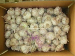 Carton Garlic