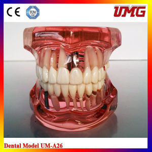 China Dental Instrument Dental Education Models pictures & photos