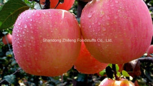 High Quality Fresh FUJI Apple pictures & photos