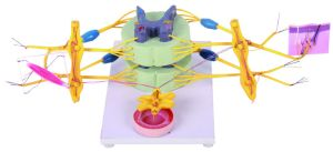 School Science Visceral Nervous System Model pictures & photos