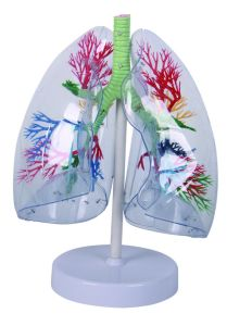 Transparent Human Lung Model for Teaching