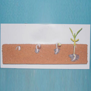 School Biology Teaching Legume Seeds Plant Models (R200105) pictures & photos