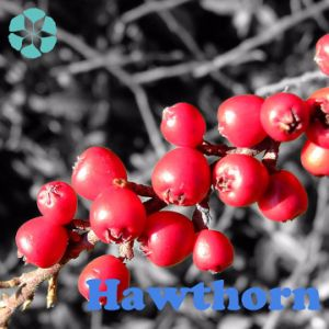 Hawthorn Berry Extract / Hawthorn Leaf Extract / Crataegus Monogyna Extract / Flavone pictures & photos