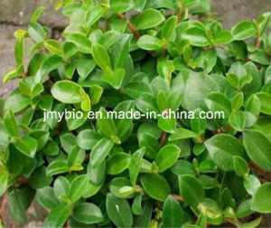 Anti-Oxidant Flavones 5%, 10% Bilberry Leaf Extract pictures & photos