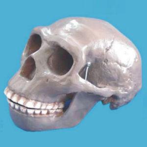 Beijing Human Skull Skeleton Model for Medical Research pictures & photos
