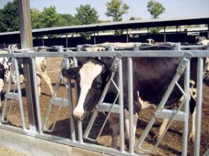 Hot DIP Cattle Headlock Cow Headlocks pictures & photos