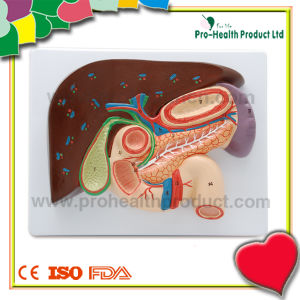 Professional Liver Medical Educational Model pictures & photos