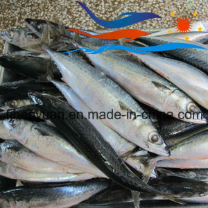 Frozen on Board Pacific Mackerel (PM015) pictures & photos