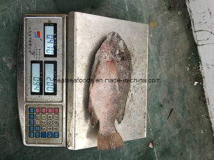 High Quality Seafood Product Red and Black Frozen Tilapia pictures & photos