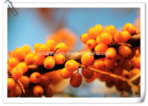 Natural Sea Buckthorn Powder/ Hippophae Rhamnoides L. Extract pictures & photos