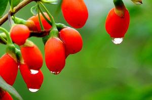 Pesticide Free Goji Berry 2015 Crop