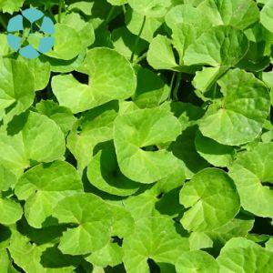 Gotu Kola Extract / Centella Asiatica Extract / Asiaticoside / Madecassoside pictures & photos