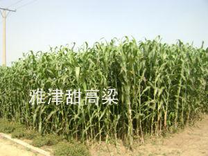 Ethanol Sweet Sorghum Seeds