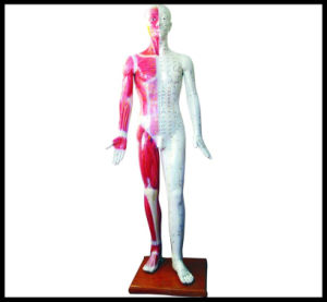 Acupuncture Human Body Model (M-1-178) pictures & photos