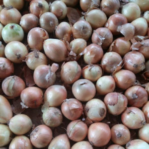Good Quality of Chinese Fresh Yellow Onion (5-7cm) pictures & photos