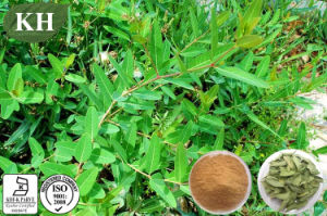 Supply 100% Natural Apocynum Venetum Extract, Dogbane Leaf Extract pictures & photos