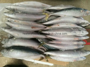 Chinese Land Frozen Pacific Mackerel for Africa Countries pictures & photos