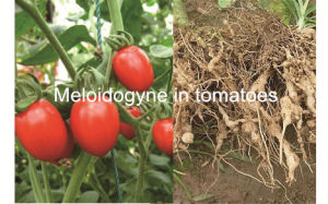 High Efficent New Insecticide Formulation Wdg Fosthiazate & Abamectin pictures & photos
