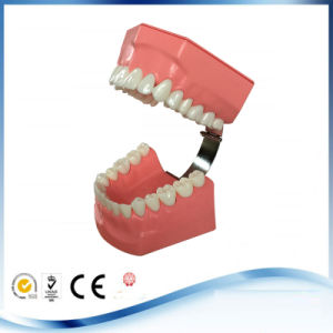 Educational Used Dental Demonstration Models for Dental Care Model pictures & photos