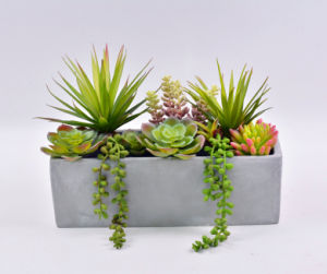 Cute Mixed Succulent in Cement Pot for Decoration pictures & photos