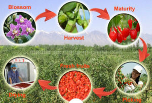Chinese Organic Goji Berries (Wolfberry) pictures & photos