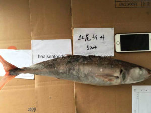 Chinese Factory Red Tail Horse Mackerel pictures & photos