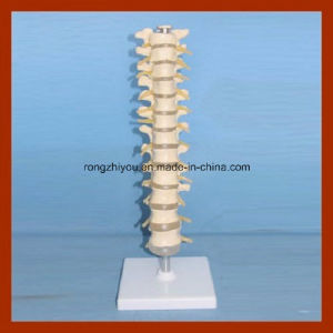 Plastic Life Size Thoracic Vertebra Spinal Column Model pictures & photos
