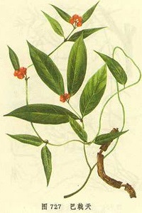 Medicinal Indianmulberry Root P. E. /Men′s Health/Morinda Officinalis pictures & photos