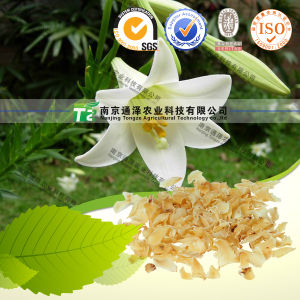 100% Pure Natural Herb Medicine Lilium Brownii Bai He pictures & photos