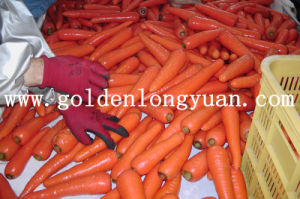 Shandong New Harvest Fresh Carrot New Crop pictures & photos