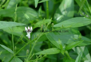 Natural Andrographis Paniculata Extract 10% 50% 98% Andrographolide pictures & photos