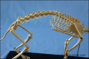 Cat Skeleton Model for Teaching and Medical Purpose Animal Anatomical Model pictures & photos