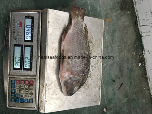 500-800g Wr African Chopa Frozen Tilapia Fish pictures & photos