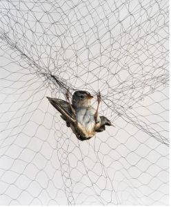 100% PP Anti Bird Net Bird Catching Net for Graps pictures & photos