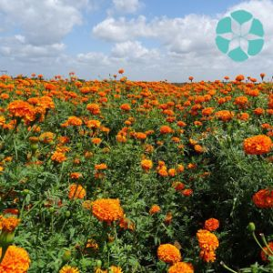 Marigold Extract / Tagetes Erecta Extract / Lutein / Zeaxanthin pictures & photos