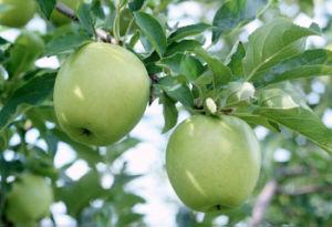 Fresh Golden Apple