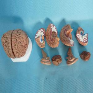 Medical Teaching Human Brain Anatomy Model (R050109) pictures & photos