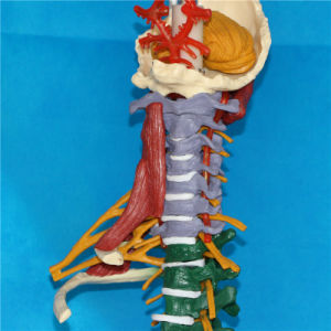 Medical Teaching Human Spine Vertebra Skeleton Simulator Model (R020706) pictures & photos