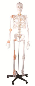 165cm Human Plastic Skeleton with Ligament pictures & photos