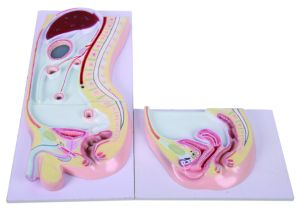 Teaching Peritoneum Sagittal Section Model, Anatomy Model pictures & photos
