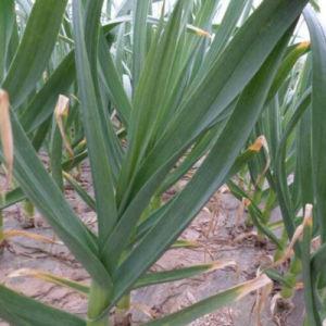 Supplier Garlic Powder Fresh Garlic pictures & photos